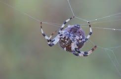 Araña en un Web Fotos de archivo