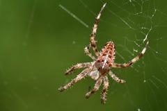 Araña en un Web Imagen de archivo libre de regalías