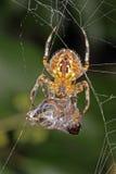 Araña en un web con su capturado hoverfly Imagenes de archivo