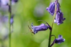Araña en una flor de la campanilla fotografía de archivo libre de regalías