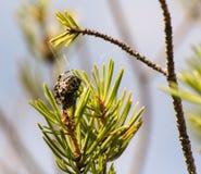 Araña en una rama de la picea Imagen de archivo