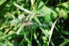 Araña en una web en campo verde imagenes de archivo