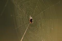 Araña en web Fotos de archivo