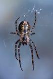 Araña en Web Fotos de archivo libres de regalías