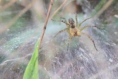 Araña en Web cubierto de rocio Imagen de archivo