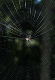 Araña en Web geométrico Fotos de archivo