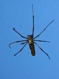 Araña enorme del árbol en web imagen de archivo