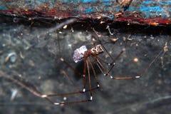 Araña femenina con el saco del huevo Foto de archivo