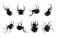 Araña femenina de la viuda negra Imágenes de archivo libres de regalías