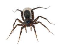 Araña femenina que lleva su huevo-saco Foto de archivo libre de regalías