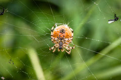 Araña grande Foto de archivo libre de regalías