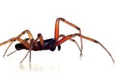 Araña grande Imagenes de archivo
