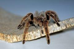 Araña grande imágenes de archivo libres de regalías
