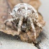 Araña grande del orbe en la hoja Imágenes de archivo libres de regalías