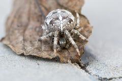 Araña grande del orbe en la hoja Foto de archivo libre de regalías