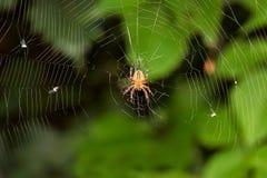 Araña grande en la caza para los insectos Foto de archivo libre de regalías