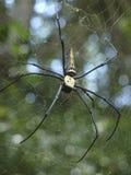 Araña grande en la selva cerca de la frontera de Camboya-Vietnam Fotos de archivo libres de regalías