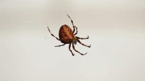 Araña grande en web delante de la pared blanca Imagen de archivo