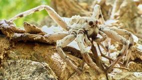 Araña grande que le mira imagen de archivo libre de regalías