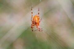 Araña grande que sube abajo el web en bosque Foto de archivo libre de regalías