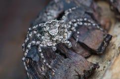 Araña gris en corteza de árbol Fotos de archivo