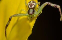 Araña hermosa Fotografía de archivo libre de regalías