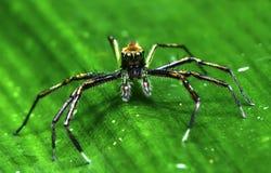 Araña hermosa del asesino del insecto en Malasia Imágenes de archivo libres de regalías