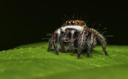 Araña hermosa del asesino del insecto en Malasia Fotografía de archivo libre de regalías