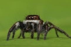 Araña hermosa del asesino del insecto en Malasia Fotos de archivo libres de regalías