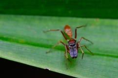 Araña hermosa del asesino del insecto en Malasia Foto de archivo libre de regalías