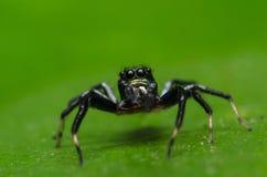 Araña hermosa del asesino del insecto en Malasia Fotografía de archivo