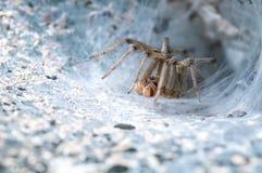 Araña hermosa que lo hace; web de s Fotos de archivo