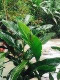 Araña jamaicana Foto de archivo