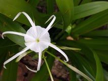 Araña Lily Flower imagen de archivo libre de regalías