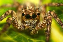 Araña macra Fotografía de archivo libre de regalías