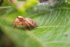 Araña macra Fotografía de archivo
