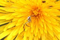 Araña macra en un diente de león Imagen de archivo