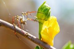 Araña Madagascar del lince Foto de archivo