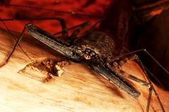 Araña malvada Fotografía de archivo