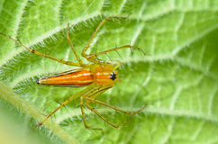 Araña masculina del lince Imagenes de archivo