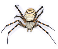 Araña melenuda Fotos de archivo libres de regalías