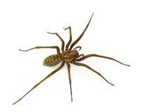 Araña melenuda Fotos de archivo