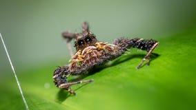 Araña melenuda en la hoja verde foto de archivo libre de regalías