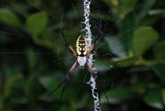 Araña meridional fotos de archivo