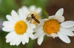 Araña mientras que come una abeja en la flor dasy Imagenes de archivo