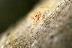 Araña mimética de la hormiga en Tailandia y Asia sudoriental Fotos de archivo libres de regalías