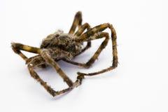 Araña muerta Fotografía de archivo libre de regalías