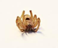 Araña muerta Imagen de archivo libre de regalías