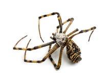 Araña muerta de la avispa, bruennichi del Argiope, Imagen de archivo libre de regalías