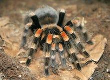 Araña negra. Imagen de archivo